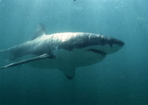 Researchers tag 3rd great white shark during Nova Scotia