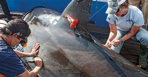 Ocearch Tags and Tweets Great White Shark Locations