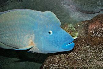 Maori wrasse (Ophthalmolepis lineolata) - Pictures and