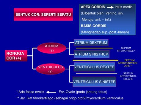 PPT - SYSTEMA CARDIOVASCULARE PowerPoint Presentation