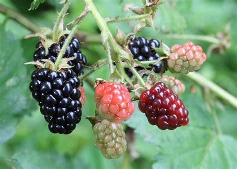 File:Ripe, ripening, and green blackberries