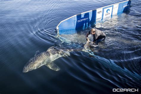 OCEARCH tracks four sharks from Nova Scotia expedition