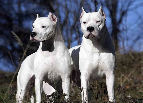 22 Bully Breeds Dogs Photos | Viral Fancy