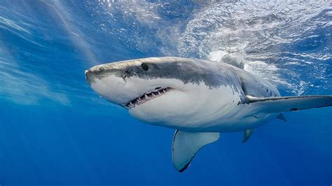 3 Great White sharks recently tracked off the coast of