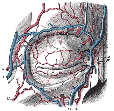 Lateral palpebral arteries - Wikipedia