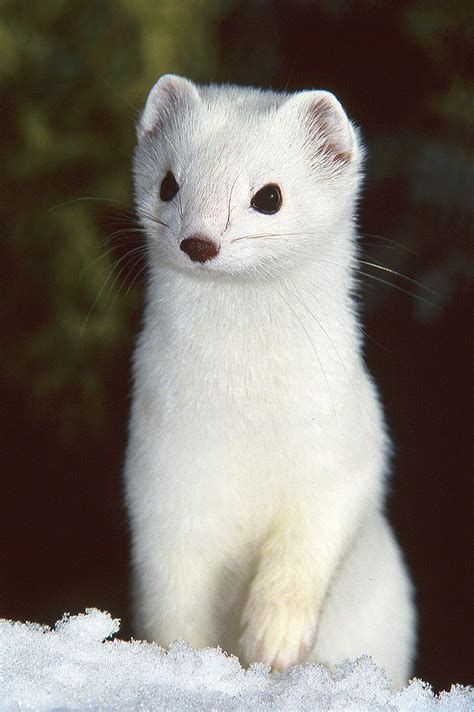 Pure White Ermine - Short Tailed Weasel | This shot goes