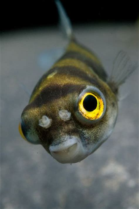 Colomesus asellus – Amazon Puffer (Cheilichthys asellus