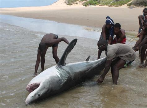 Great white shark killed in Mozambique – Updated | Shark